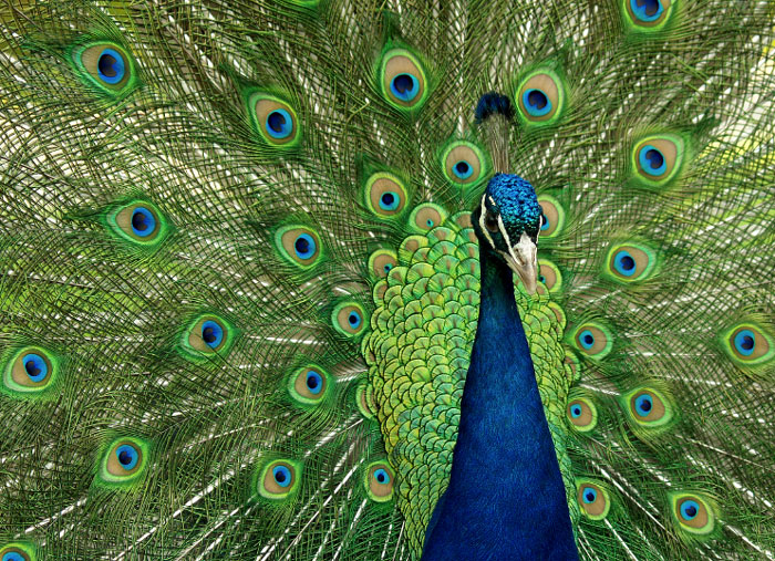 Peacock showing his feathers